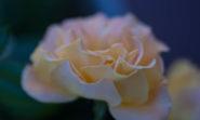0109 Rose 1