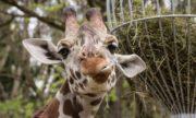 0705 Giraffe 1