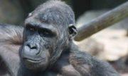 0714 Gorilla