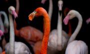 0718 Flamingos
