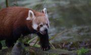 0723 Kleiner Panda